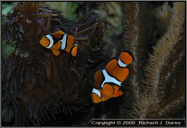 Maroon Clownfish : A Look At The Large And Aggressive Maroon Clownfish