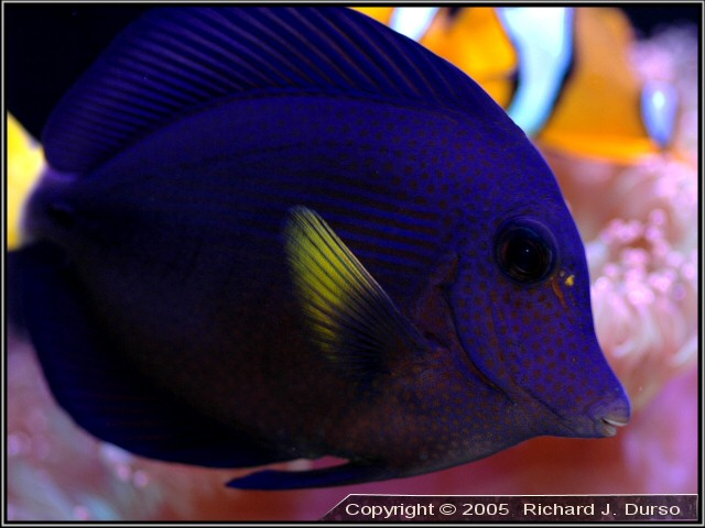 Red sea purple tang zembrasoma xanthurum my chunk of for Purple saltwater fish